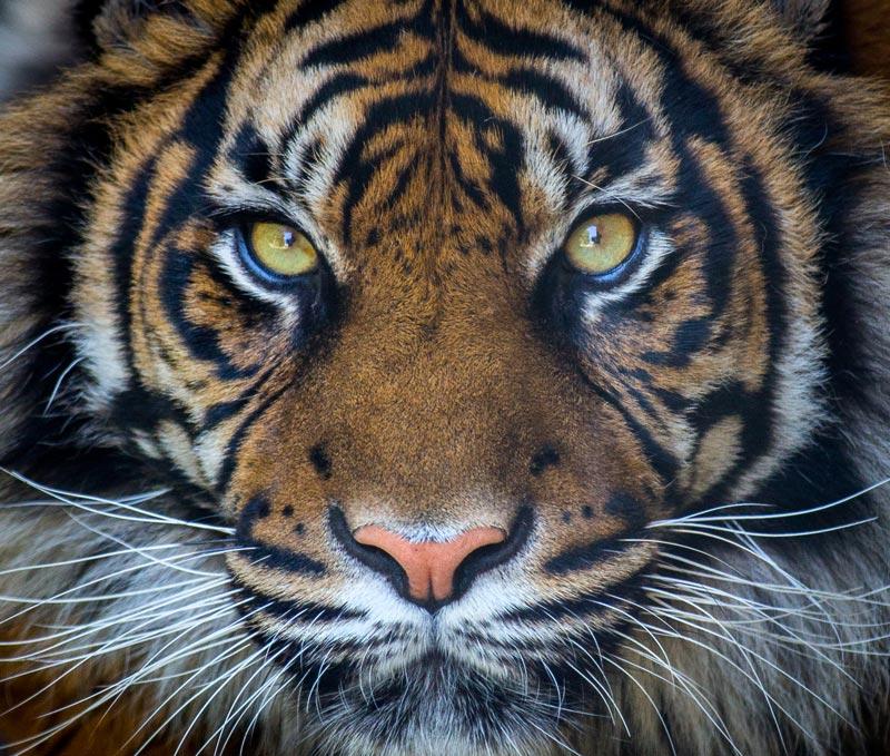 tijgers-spotten